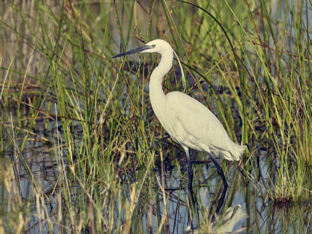 Ein weißer Kranich im Wasser steht für die Kategorie Wildlife