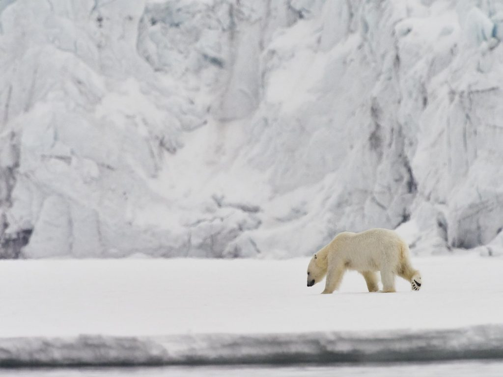 Polarbear in front of a Glacier