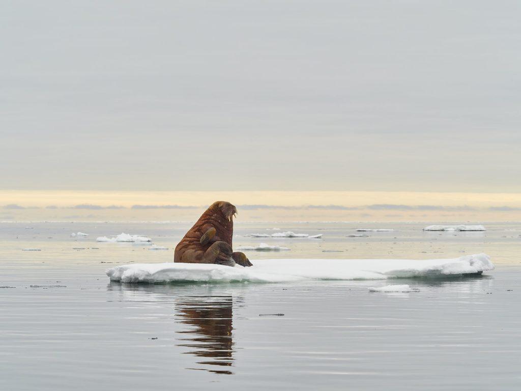 Walross auf einer einsamen Eisscholle