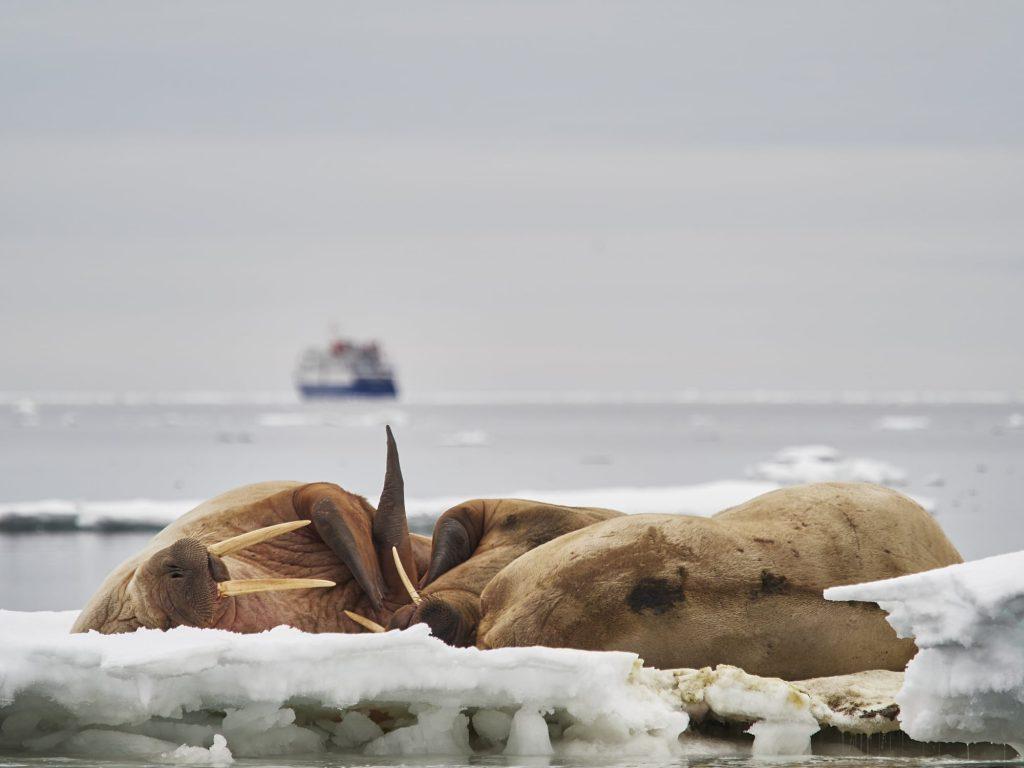 Walrösser auf Eisscholle